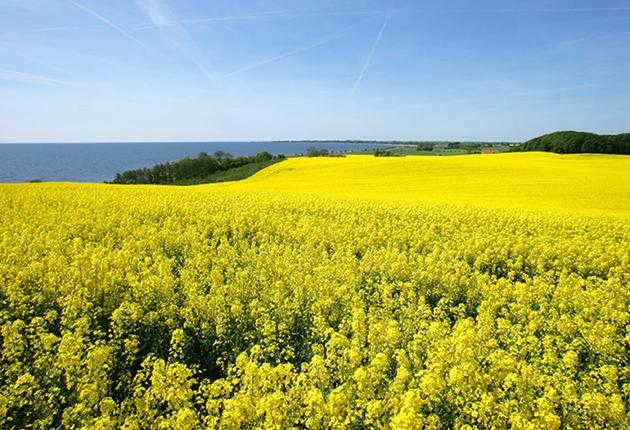 Solgula fält och gyllengul rapsolja med Omega 3 & 6