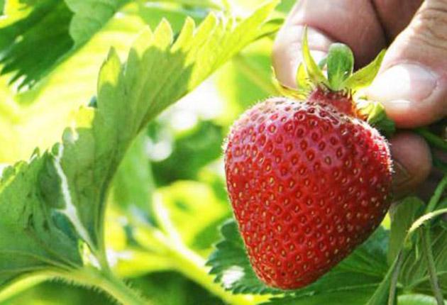 Jordgubbar – Sveriges mest älskade bär!