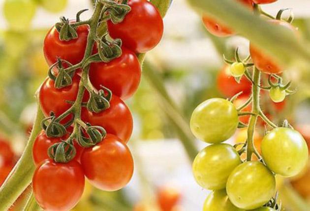 Våra nyskördade tomater mognar på plantan
