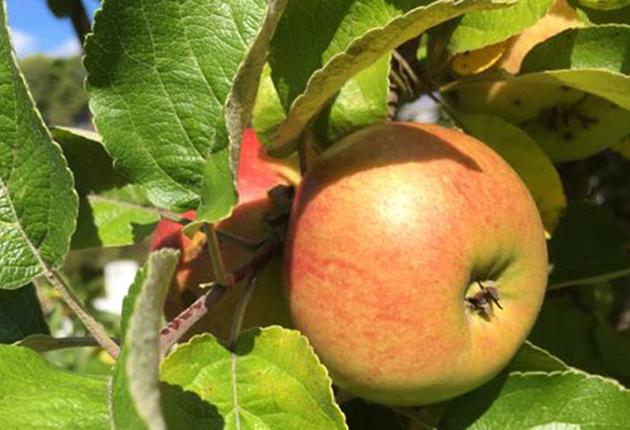 Årets rekordskörd av svenska äpplen