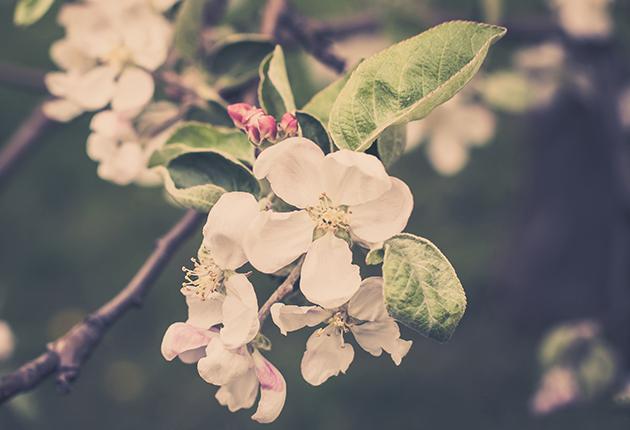 Nu finns det svenska äpplen året runt!