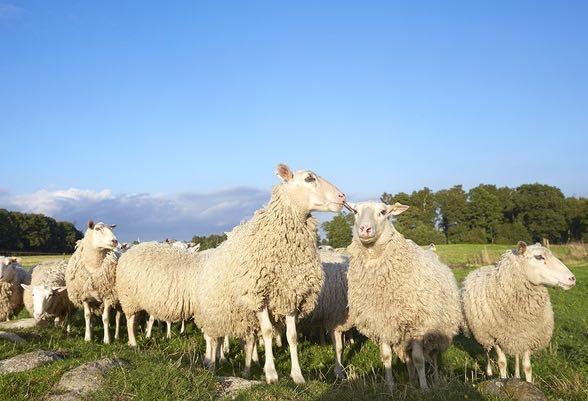 KLS Ugglarps satsar på svenskt lammkött