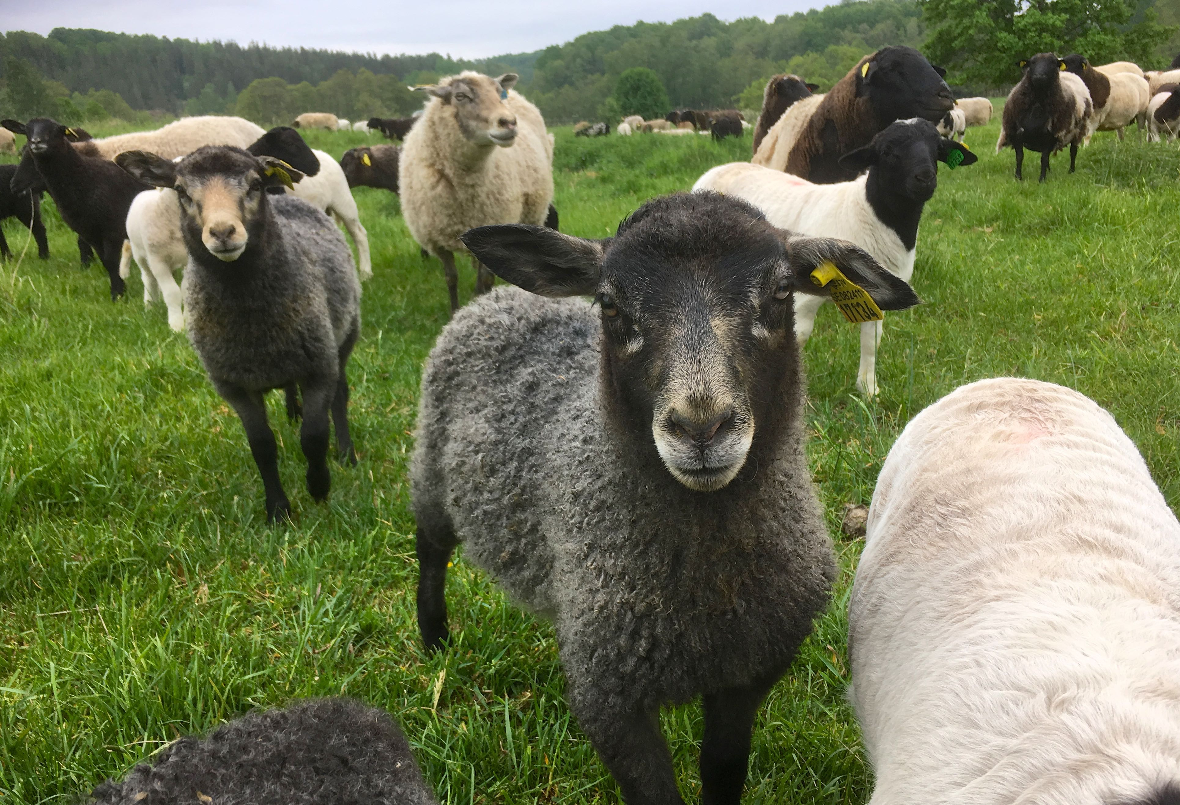 Visste du detta om svenskt lamm?