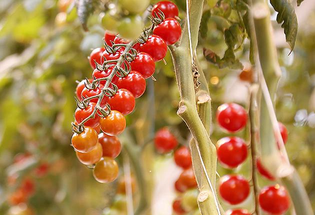 Hållbara svenska tomater är ett utmärkt val!