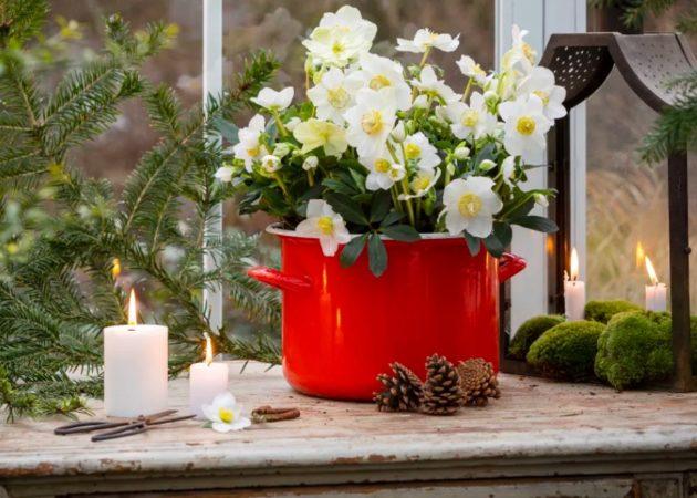 Svenskodlad julros – vackraste växten för entrén!