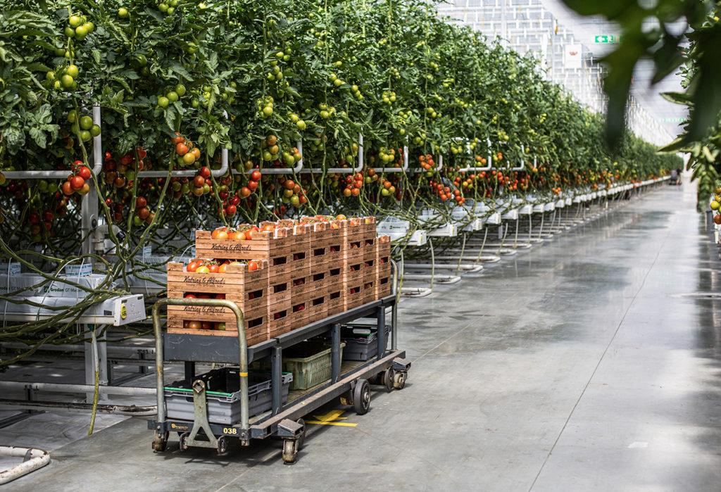 Svenska tomater året runt