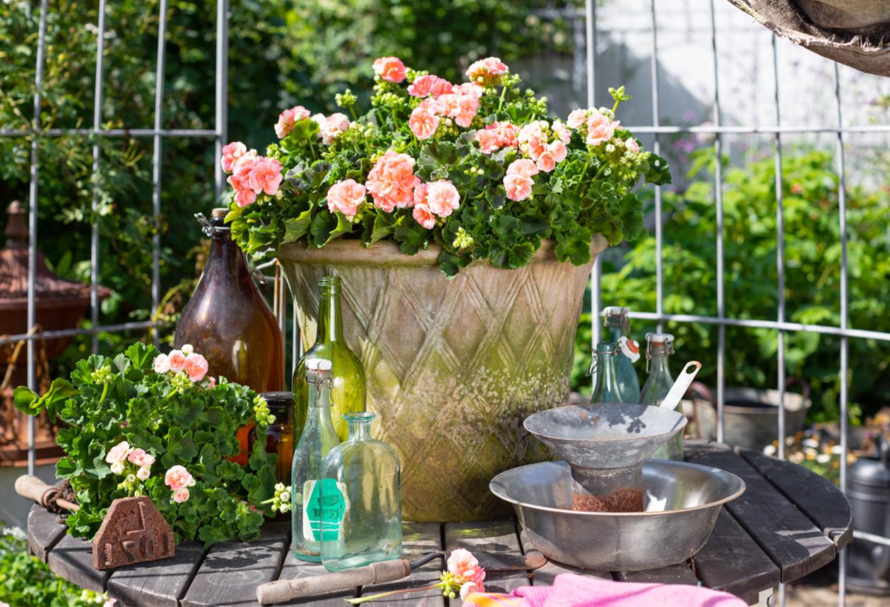 Årets Pelargon 2021 Astrid – små roslika blommor