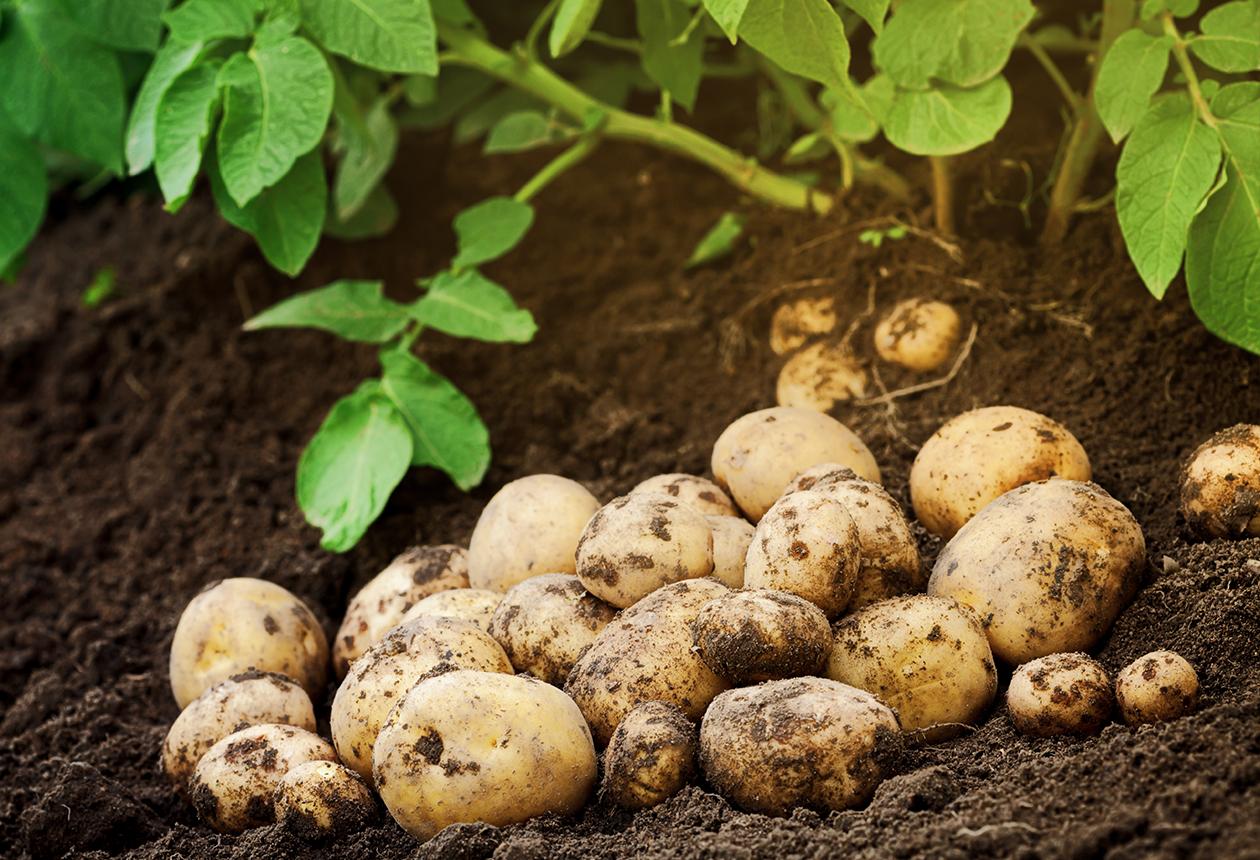 rotfrukter potatis